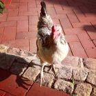 20130811_chickenpower